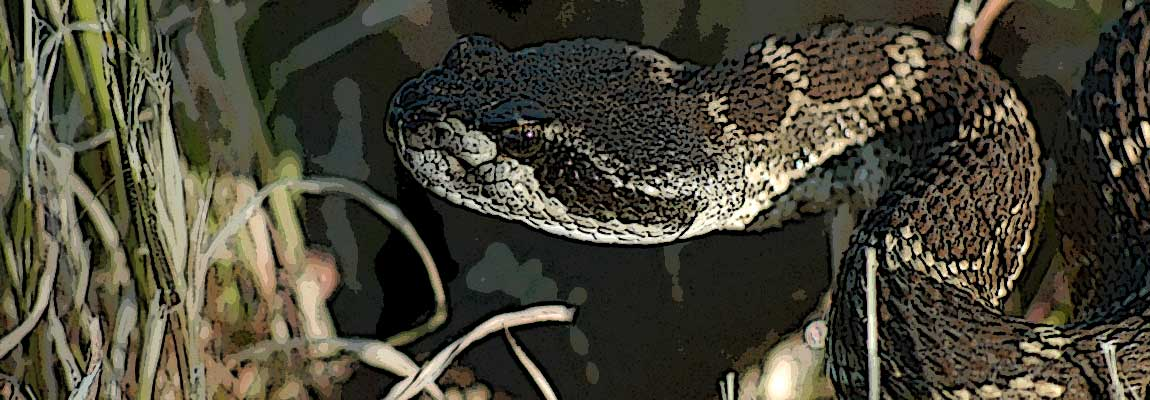 Pacific Coast Rattlesnake