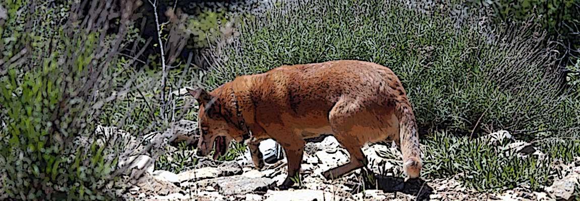 Dingo Exploring Zion National Monument