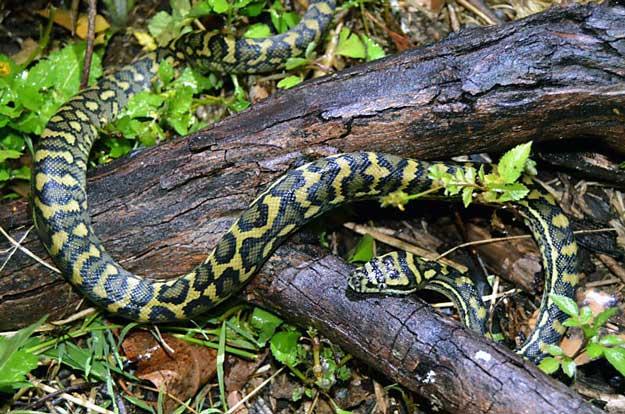 Carpet python, near Brisbane