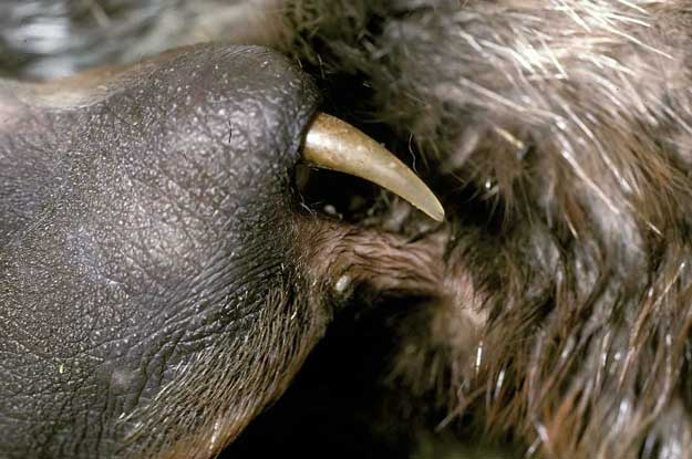 Male Platypus Venom Spur